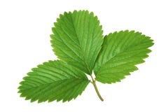 клубника листьев стоковые изображения