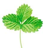 клубника листьев Стоковое Фото