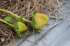Клубника на саде - Вьетнаме Стоковые Изображения RF