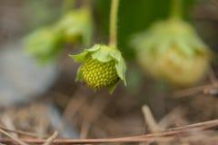 Клубника на саде - Вьетнаме Стоковое фото RF