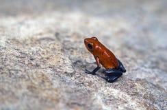 клубника отравы лягушки дротика стоковое изображение rf