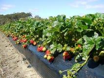 клубника фермы Австралии южная Стоковые Фото