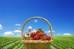 клубника хлебоуборки поля Стоковое Изображение