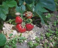 клубника ягод кровати зрелая Стоковые Изображения