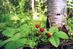 Клубника ягод одичалая под деревом березы Стоковые Изображения RF