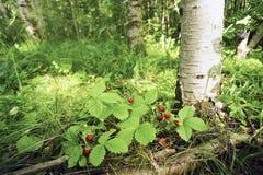 Клубника ягод одичалая под деревом березы Стоковые Фото