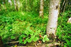 Клубника ягод одичалая под деревом березы Стоковые Изображения