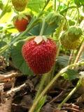клубника ягод одичалая Стоковые Изображения