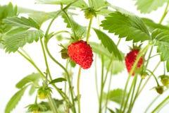 клубника ягод одичалая Стоковое Фото