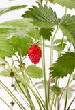 клубника ягод одичалая Стоковые Фото