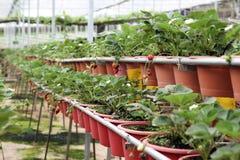 клубника 01 фермы стоковая фотография rf