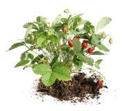 клубника bush Стоковое фото RF