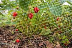 Клубники предусматриванные с защитной сеткой Стоковые Фото