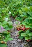Клубники растя в фермеры поле, пук зрелых красных ягод выделили, доброта лета стоковая фотография rf