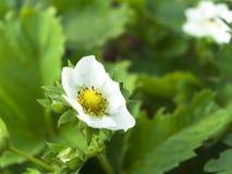 клубники цветка Стоковое Фото