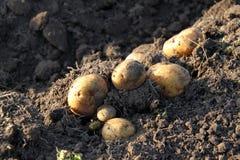 Клубни картошки Стоковое Фото