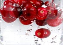клюква ягоды зрелая Стоковые Изображения