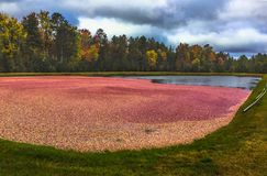 Клюквы в болоте готовом для сбора в Висконсине в осени Стоковые Фото