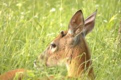 кнопка самеца оленя стоковая фотография