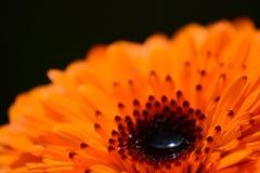 Кнопка Calendula Стоковые Фото