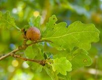 Кнопперс Яблока дуба стоковые фотографии rf