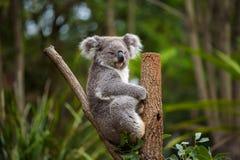 Коала на дереве евкалипта в Австралии Стоковое фото RF