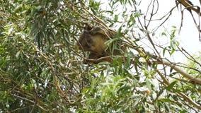 Коала опасно вися на дереве когда ветер видеоматериал