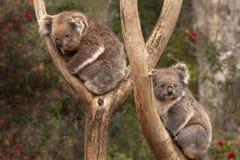 Коалы, Австралия Стоковые Фотографии RF