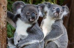 2 коалы сидя сторона - мимо - сторона Стоковые Изображения