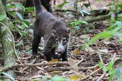 Коати, национальный парк Corcovado, Коста-Рика стоковые изображения