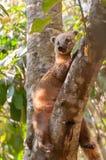 Коати усаженный на ветвь дерева Стоковые Фотографии RF