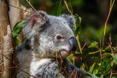 Коала на ветви дерева, Квинсленд, Австралия Стоковое фото RF