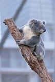 Коала на ветви дерева Стоковые Изображения