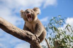 Коала сидя и зевая на ветви Стоковая Фотография