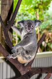 Коала сидя на ветви Стоковая Фотография
