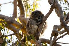 Коала спать - западная Австралия стоковое изображение