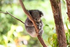 Коала спать на дереве евкалипта, солнечном свете стоковое фото rf