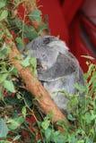 Коала спать Стоковое фото RF