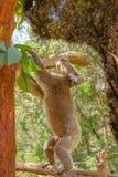 Коала стоя на ветви Стоковая Фотография