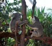 2 коалы держа руки и смотря прочь, сидящ на ветви Стоковое Фото