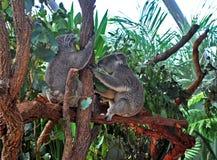 2 коалы держа ствол дерева в зоопарке Сиднея Стоковые Изображения RF