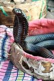 кобра королевская стоковая фотография rf