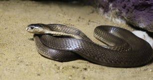 кобра Стоковое Изображение RF
