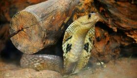 кобра стоковая фотография rf