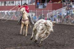 Ковбой гонит одичалый быка Стоковое Изображение RF