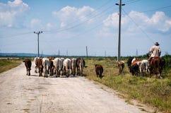 Ковбой и коровы Стоковая Фотография