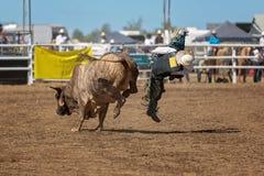 Ковбой падает с Bull во время конкуренции родео Стоковая Фотография RF