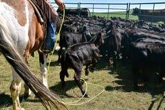 Ковбой скучает по икре с его lariat и лассо Стоковые Изображения RF