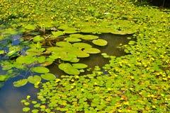 Ковер лилий воды на пруде в парке Стоковое Фото