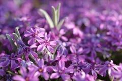 Ковер крошечных фиолетовых цветков в свете утра стоковое фото
